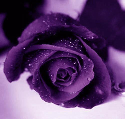 Le violet : Symbole et histoire 288a4qfu